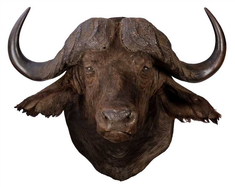 Massive Water Buffalo Taxidermy Head and Shoulder Mount.