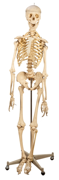 Vintage Medical School Human Skeleton Model.